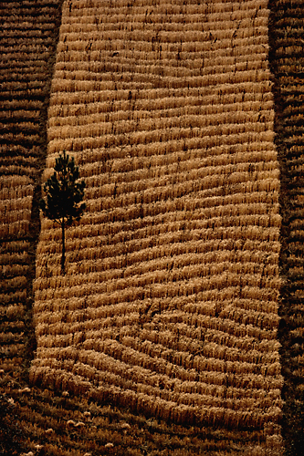 Tapestry Pine on Wheat