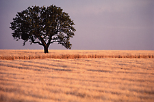 Oak in Wheat
